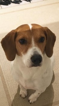 buddy-beagle-reunited