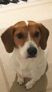 buddy-beagle-reunited